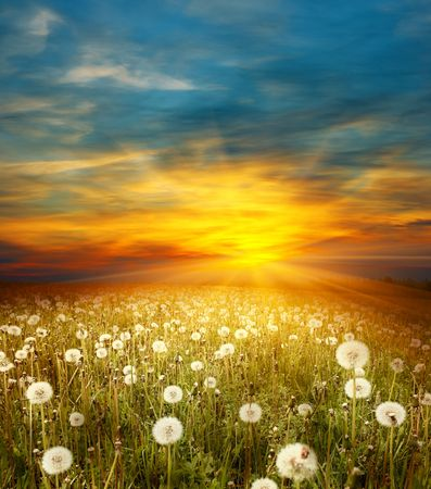 Foto de Sunset on meadow with dandelions - Imagen libre de derechos