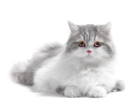 Photo pour White fluffy classic persian cat isolated on white - image libre de droit