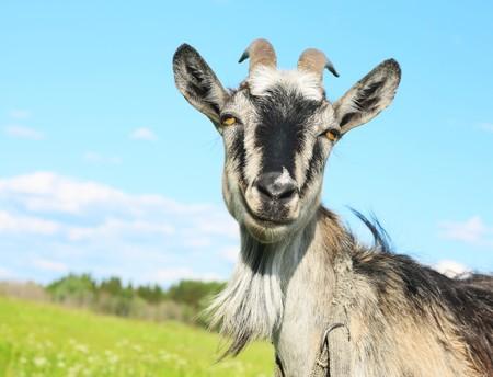 Photo pour Smiling goat over blue sky - image libre de droit