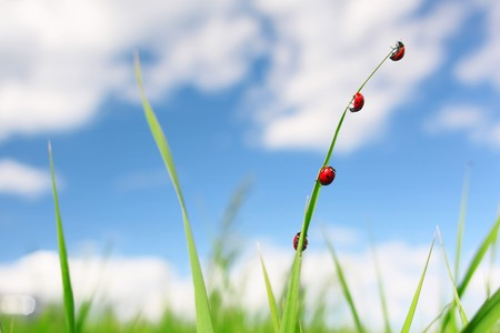 Four red ladybirds on green thin grass blade over blue sky