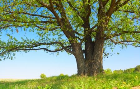 Photo for Big tree with fresh green leaves and green spring meadow - Royalty Free Image