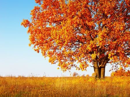 Foto de Big autumn oak tree with red leaves on a blue sky background - Imagen libre de derechos
