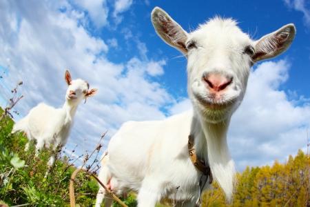 Photo pour Portrait of a funny goat looking to a camera over blue sky background - image libre de droit