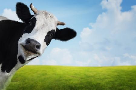 Foto de Funny cow on a green summer meadow. Blurred background - Imagen libre de derechos