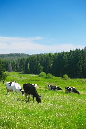Photo pour Cows grazing on a spring meadow in sunny day - image libre de droit