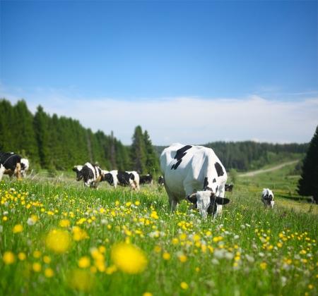 Foto de Cows grazing on a spring meadow in sunny day - Imagen libre de derechos