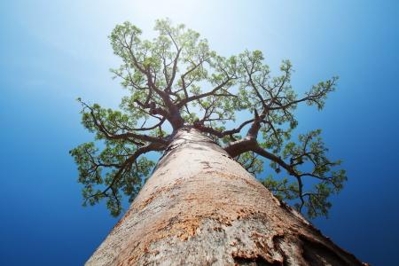 Foto de Baobab tree with green leaves on a blue clear sky background. Madagascar - Imagen libre de derechos