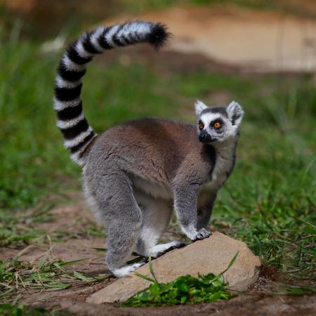 Foto de Ring tailed lemur resting on the stone. Madagascar - Imagen libre de derechos