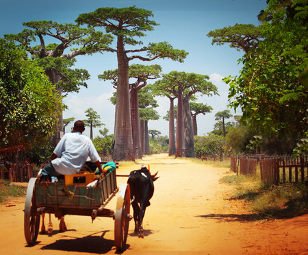 Foto de Zebu cart on a dry road leading through baobab alley. Madagascar - Imagen libre de derechos