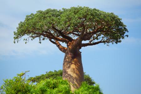 Photo for Green baobab at sunny day. Madagascar - Royalty Free Image