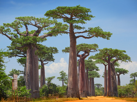 Foto de Baobab trees on a dry land and blue clear sky. Madagascar - Imagen libre de derechos