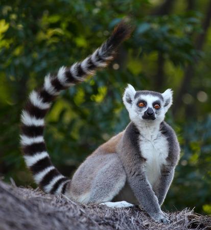Foto de Ring tailed lemur (Lemur Catta) in a forest. Madagascar - Imagen libre de derechos