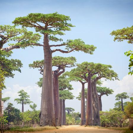 Foto de Baobab trees and rural road at sunny day. Madagascar - Imagen libre de derechos