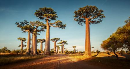 Foto de Baobab trees along the rural road at sunny day - Imagen libre de derechos