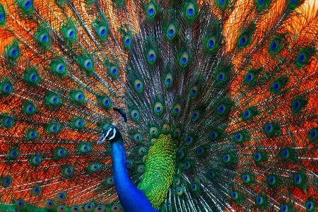 Photo pour peacock - image libre de droit