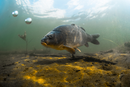 Foto de Underwater shot of the fish (Carp of the family of Cyprinidae) in a pond near the bottom - Imagen libre de derechos
