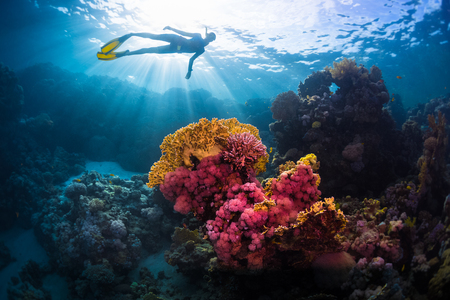 Photo pour Free diver swimming underwater over vivid coral reef. Red Sea, Egypt - image libre de droit