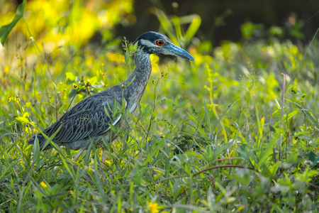 Photo pour Yellow crowned night heron (Nyctanassa violacea) in the wild, with green grass background - image libre de droit