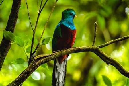 Foto de Male of resplendent quetzal (Pharomachrus mocinno) sits on branch in the forest. Costa Rica. - Imagen libre de derechos