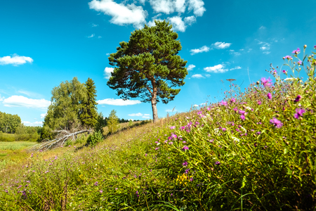 Photo for Summer meadow with pine tree, forest on the horizon and lush grass with flowers on the foreground - Royalty Free Image