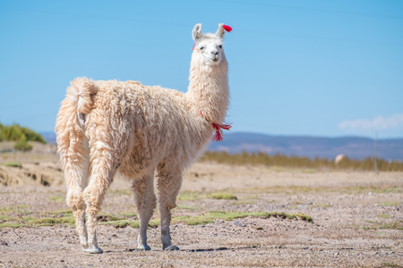 Foto de Decorated white llama (Lama glama) stands on the meadow with natural blurred background. Altiplano, Bolivia - Imagen libre de derechos