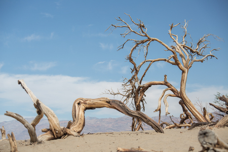 Photo for Dry trees in the Death Valley, USA - Royalty Free Image