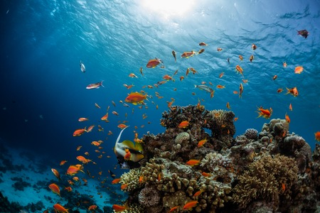 Foto de Vivid coral reef full of fishes. Red Sea, Dahab - Imagen libre de derechos