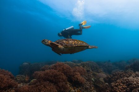 Photo for Scuba diver swims together with the huge sea turtle in the tropical sea - Royalty Free Image