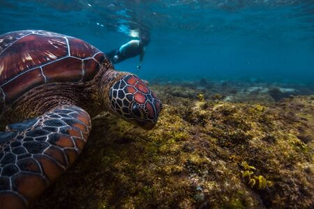 Photo for Man snorkeling and swimming with the colorful sea turtle (Cheloniidae) in the tropical sea near the Apo island in Philippines - Royalty Free Image