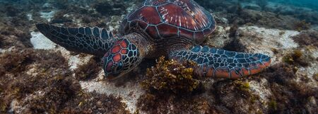 Photo for Colorful sea turtle (Cheloniidae) grazes in the tropical sea near the Apo island in Philippines - Royalty Free Image