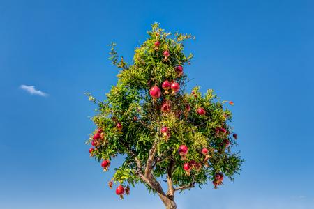 Photo pour Pomegranates tree at Bratislava castle courtyard in Slovakia - image libre de droit