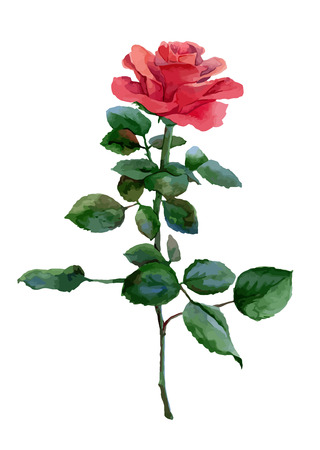 Single watercolor red rose isolated on white background. Vector illustration mural