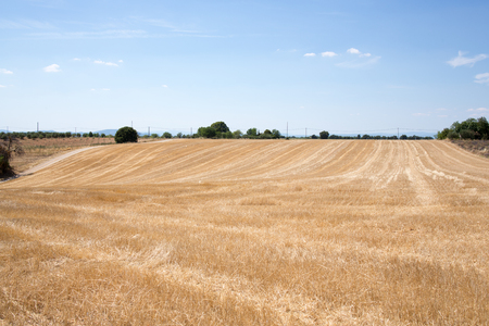 Photo pour Organic wheat field harvested at sunny day - image libre de droit