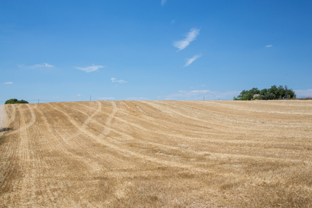 Photo pour Organic wheat harvested at sunny day - image libre de droit
