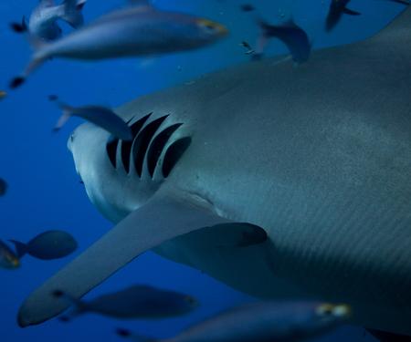 Photo for Bull shark gills - Royalty Free Image