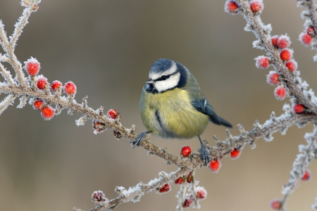 Photo pour Blue tit Parus caeruleus, On berries in frost, Midlands, winter                - image libre de droit