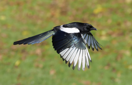 Foto de Magpie, Pica pica, single bird in flight, Warwickshire, November 2017 - Imagen libre de derechos