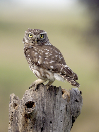 Photo for Little owl, Athene noctua, single bird on branch, Hungary, July 2018 - Royalty Free Image