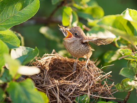 Photo pour Baby bird sittiing on edge of the nest and trying to fly (Common Whitethroat – Sylvia communis) - image libre de droit