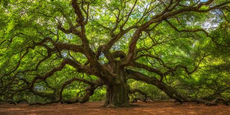 Photo pour Angel Oak Tree Panorama in South Carolina - image libre de droit