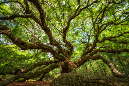 Photo for Underneath the historic Angel Oak Tree at Johns Island, South Carolina - Royalty Free Image