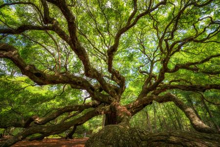 Photo for Underneath the historic Angel Oak Tree at Johns Island, South Carolina - Royalty Free Image