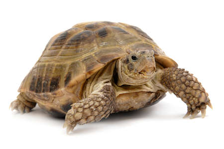 turtle overwhite isolated, reptile animal slow speed