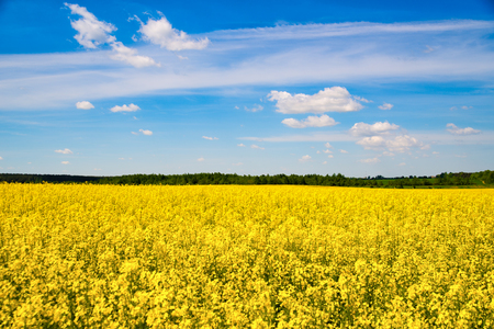 Beautiful rapeseed field on a sunny day in June 2017
