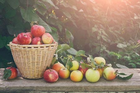 Photo pour Basket with apples. Seasonal fruit gathering, fall harvest in garden, agriculture and farming concept - image libre de droit
