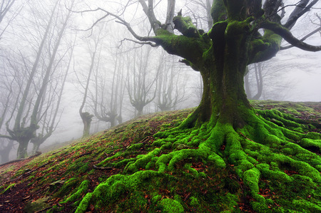 Photo for tree with twisted roots in foggy forest - Royalty Free Image