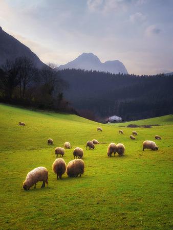 Foto de rural landscape with sheep grazing in Basque Country - Imagen libre de derechos