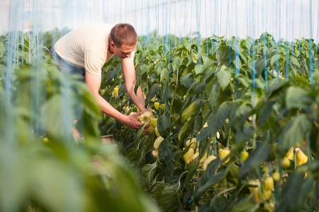 Photo for Farmer picking ripe bell peppers in a big greenhouse - Royalty Free Image