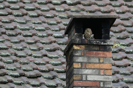 Photo for Little owl, Athene Noctua, seeking shelter in a chimney against a ceramic tile roof background - Royalty Free Image