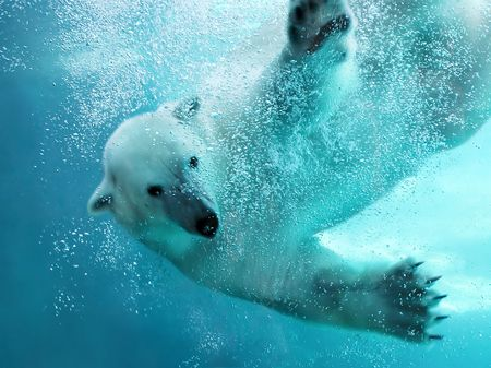 Polar bear attacking underwater with full paw blow details showing the extended claws, webbed fingers and lots of bubbles - bear looking at camera.
